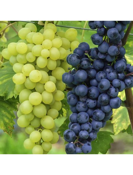Weinrebe, Vitis vinifera »Duo«, Früchte: mehrfarbig, essbar