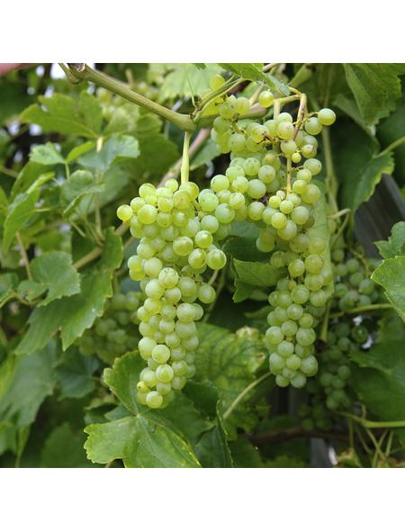 GARTENKRONE Weinrebe, Vitis vinifera »Lakemont«, Blüten: creme, essbare Früchte