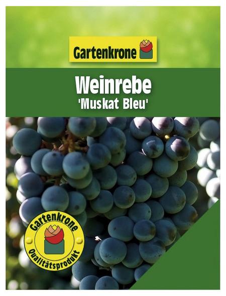 GARTENKRONE Weinrebe, Vitis vinifera »Muskat Bleu« Blüten: creme, Früchte: blau, essbar