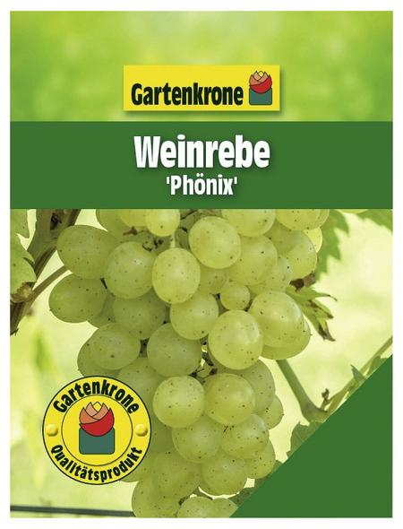 GARTENKRONE Weinrebe, Vitis vinifera »Phoenix« Blüten: creme, Früchte: grün, essbar