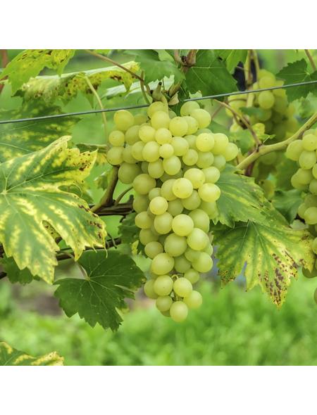 GARTENKRONE Weinrebe, Vitis vinifera »Primus« Blüten: creme, Früchte: gelb, essbar