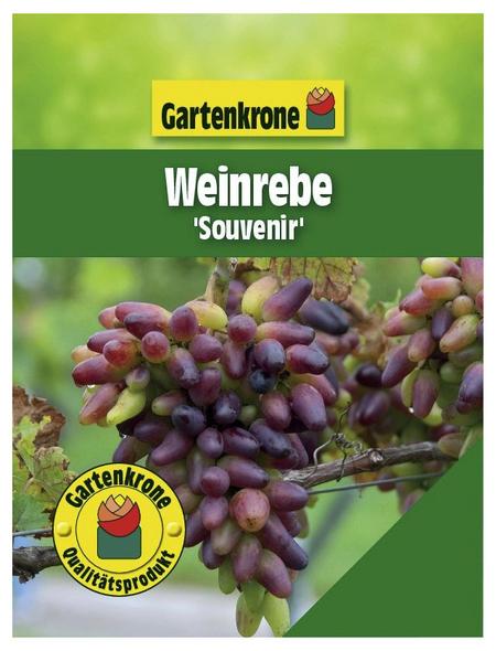 GARTENKRONE Weinrebe, Vitis vinifera »Souvenir« Blüten: creme, Früchte: rot, essbar