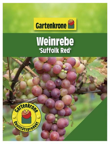 GARTENKRONE Weinrebe Vitis vinifera »Suffolk Red«