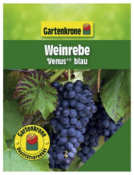 GARTENKRONE Weinrebe, Vitis vinifera »Venus *rot*«, Blüten: creme, essbare Früchte