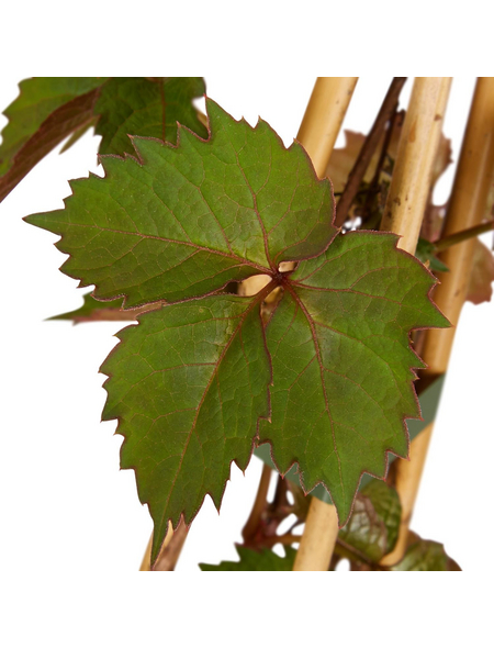 GARTENKRONE Wilder Wein Parthenocissus quinquefolia