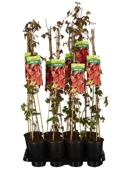 GARTENKRONE Wilder Wein, Parthenocissus quinquefolia, creme, winterhart