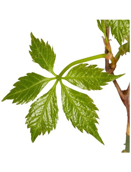 GARTENKRONE Wilder Wein Parthenocissus quinquefolia »Engelmanii«