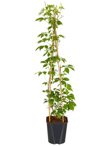 GARTENKRONE Wilder Wein, Parthenocissus quinquefolia »Engelmanii«, creme, winterhart