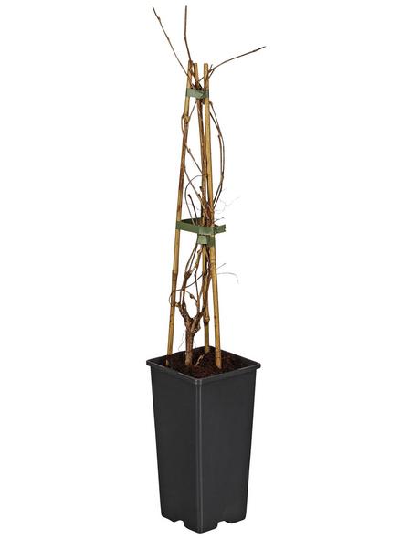 GARTENKRONE Wilder Wein Parthenocissus quinquefolia »Engelmannii«