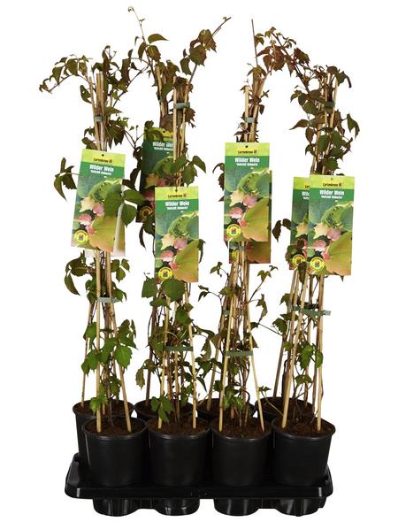 GARTENKRONE Wilder Wein, Parthenocissus tricuspidata »Veitchii Robusta«, creme, winterhart