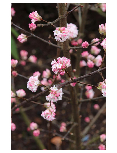 Winter-Schneeball, Viburnum bodnantense »Charles Lamont«, Blütenfarbe hellrosa