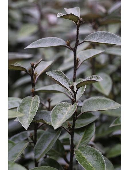 Wintergrüne Ölweide, Elaeagnus ebbingei »Elaeagnus ebbingei«, Blütenfarbe cremeweiß