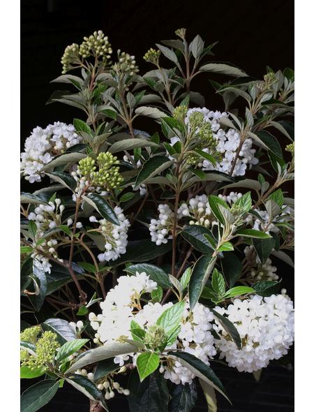 Wintergrüner Schneeball, Viburnum »Eskimo«, Blütenfarbe weiß