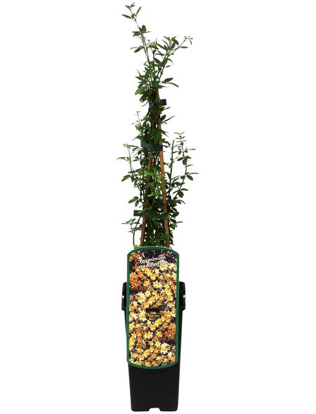 GARTENKRONE Winterjasmin, Jasminum nudiflorum, Blüten: gelb