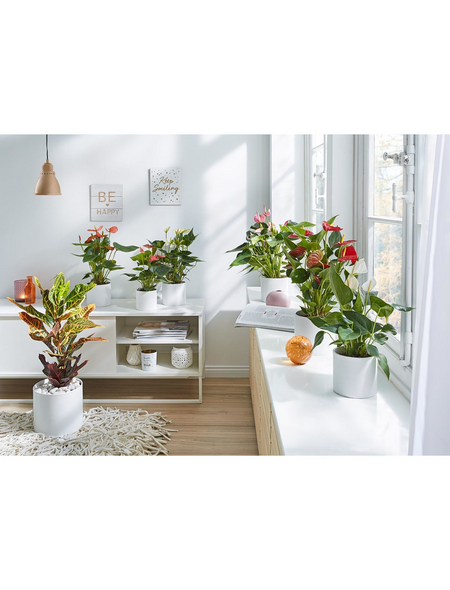 GARTENKRONE Wunderstrauch Codiaeum variegatum »Petra«