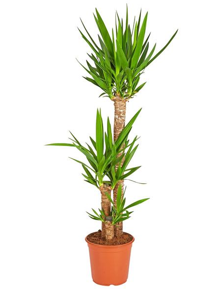 GARTENKRONE Yucca-Palme Yucca elephantipes 3-Stamm 140 cm