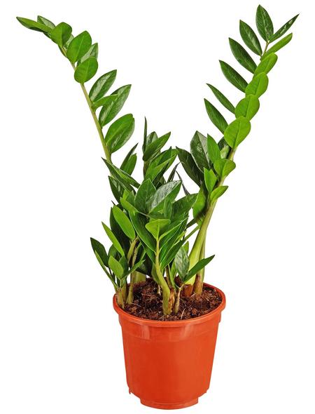 GARTENKRONE Zamie Zamioculcas zamiifolia 70 cm