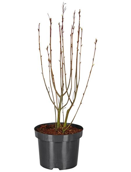 GARTENKRONE Ziergehölz »Amelanchier alnifolia«