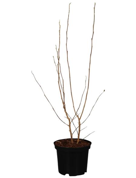 GARTENKRONE Ziergehölz »Magnolia stellata«