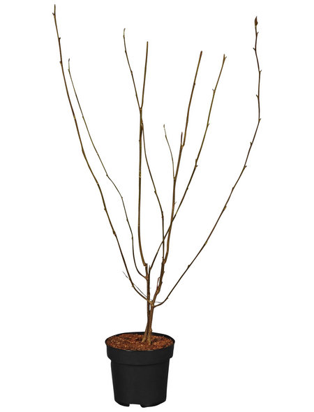 GARTENKRONE Ziergehölz »Mangolia soulangiana«