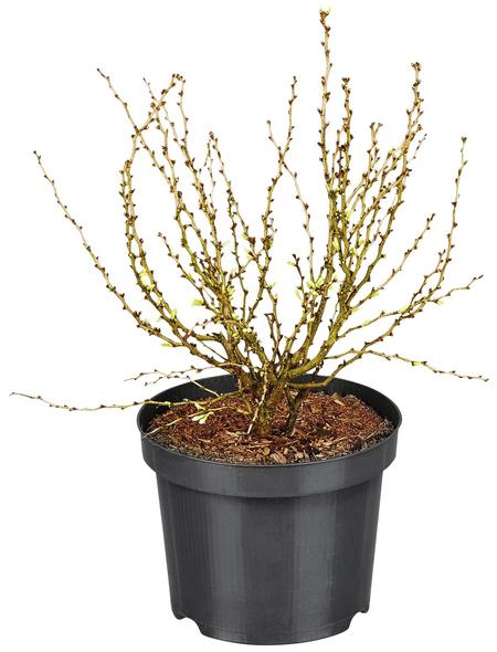 GARTENKRONE Ziergehölz »Prunus incisa«