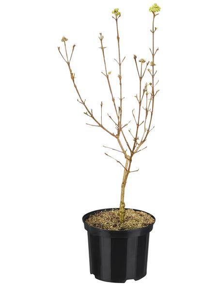GARTENKRONE Ziergehölz »Viburnum burkwoodii«