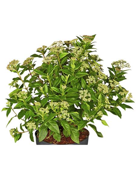 GARTENKRONE Ziergehölz »Viburnum tinus«