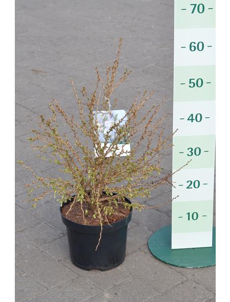 GARTENKRONE Zierkirsche Prunus incisa »Kojou-no-mai«