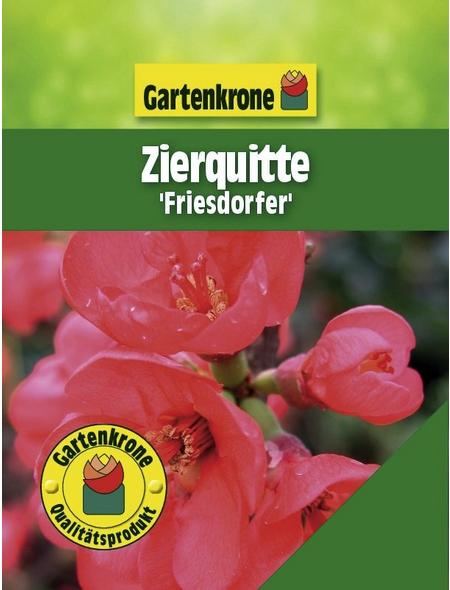GARTENKRONE Zierquitte , Chaenomeles speciosa »Friesdorfer«, rot, winterhart
