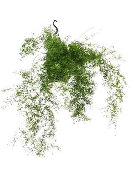 Zierspargel, densiflorus Asparagus »sprengeri«