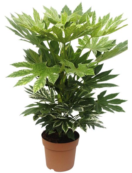 Zimmeraralie, japonica Fatsia »variegata«, Topf-Ø: 21cm