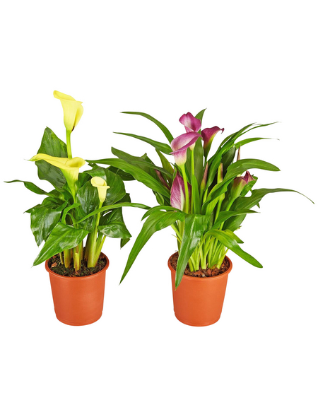 GARTENKRONE Zimmercalla, Zantedeschia Hybriden »in Sorten«, Blütenfarbe: mehrfarbig