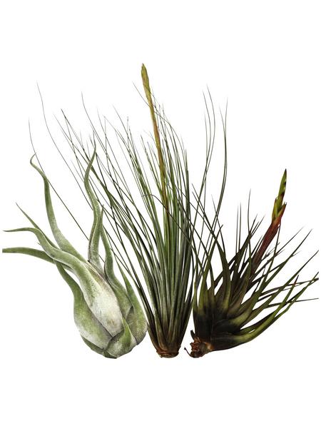Zimmerpflanze Blattfarbe: grün