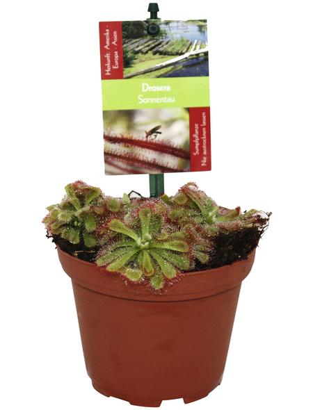Zimmerpflanze Blattfarbe: rot