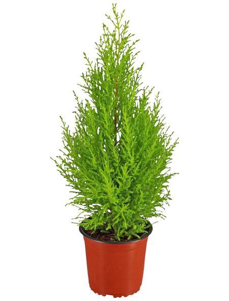 GARTENKRONE Zimmerzypresse, Cupressus macrocarpa »Goldcrest Wilma«, im Kunststoff-Kulturtopf