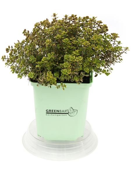 GREENBAR Zitronenthymian 3er Set, Thymus x Citriodorus, Blütenfarbe: weiß