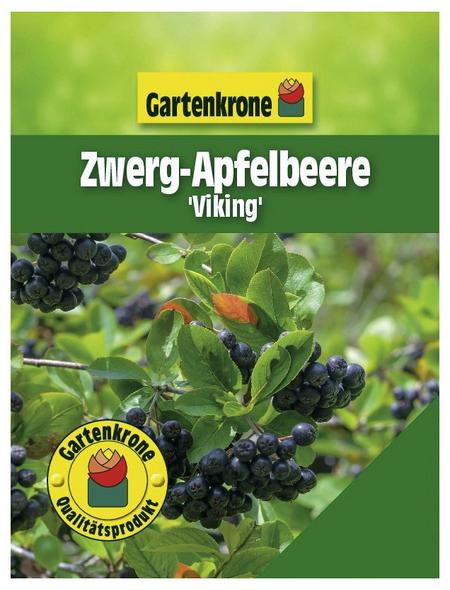 GARTENKRONE Zwerg-Apfelbeere Aronia prunifolia »Viking«
