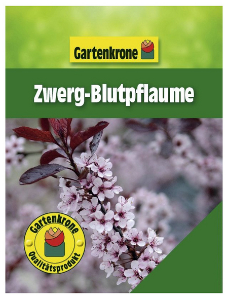 GARTENKRONE Zwerg-Blutpflaume, Prunus cistena, Blütenfarbe rosa/pink