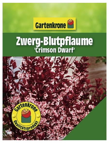 GARTENKRONE Zwerg-Blutpflaume, Prunus cistena »Crimson Dwarf«, Blütenfarbe rosa/pink
