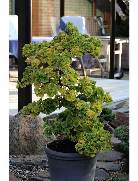 Zwerg - Fächerblattbaum biloba Ginkgo »Troll«
