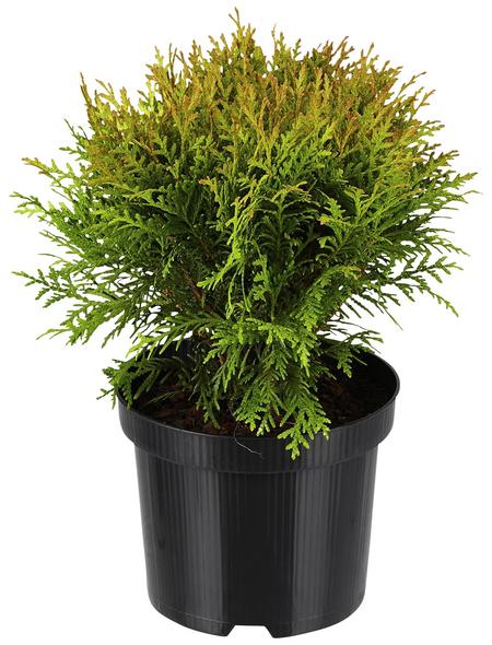 GARTENKRONE Zwerg-Lebensbaum, Thuja occidentalis »Danica«, winterhart