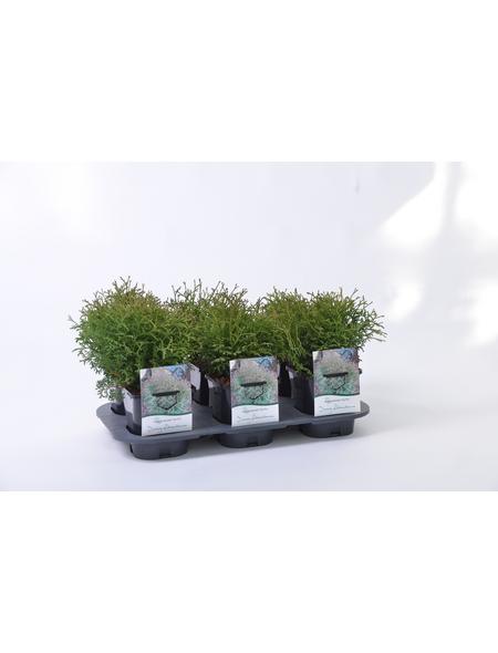 GARTENKRONE Zwerg-Lebensbaum Thuja occidentalis »Tiny Tim«