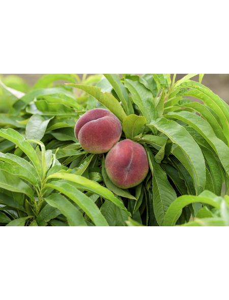 GARTENKRONE Zwerg-Pfirsich, Prunus persica »Bonanza«, Früchte: süß, zum Verzehr geeignet