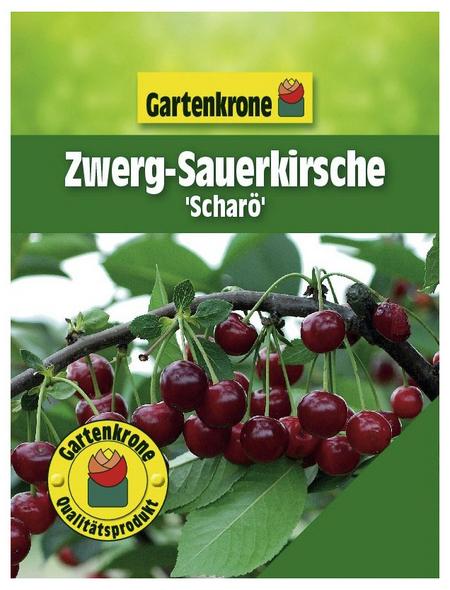 GARTENKRONE Zwerg-Sauerkirsche, Prunus fruticosa »Scharö«, Früchte: süß-säuerlich, zum Verzehr geeignet