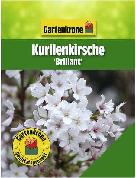 GARTENKRONE Zwergkirsche, Prunus kurilensis »Brilliant«, Blütenfarbe weiß/rosa