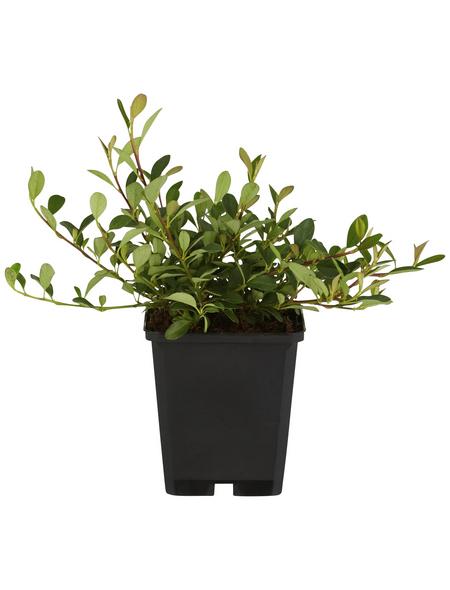 GARTENKRONE Zwergmispel Cotoneaster dammeri »Eichholz«