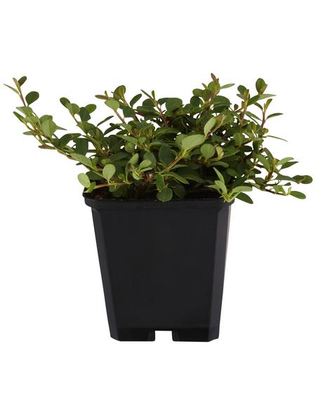 GARTENKRONE Zwergmispel, Cotoneaster Dammeri »Frieders Evergreen«, weiß, winterhart