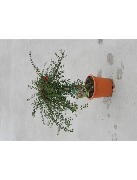 GARTENKRONE Zwergmispel Cotoneaster praecox »Boer«