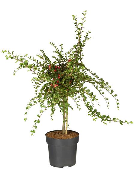 GARTENKRONE Zwergmispel, Cotoneaster praecox »Boer«, weiß, winterhart