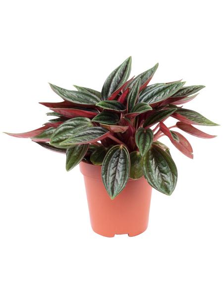 Zwergpfeffer Peperomia  rosso